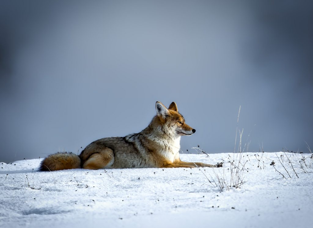coyote laying in snow covered field
